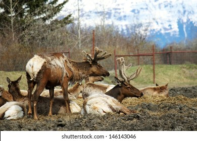 Caribou in The Alaska Wildlife Conservation Center