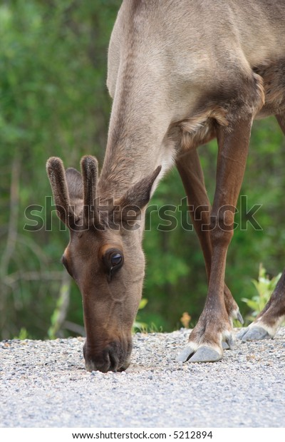 Caribou along a roadside in Yukon Territory