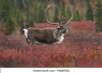Caribou Bull (Rangifer tarandus) in fall colored tundra of dwarf birch and willow, Denali National Park, Alaska