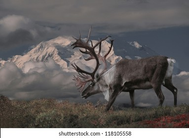 Caribou bull (Rangifer tarandus) and Mt. McKinley, Denali National Park, Alaska.