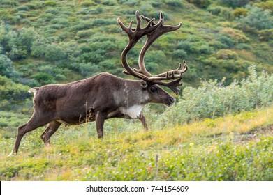 Caribou Bull (Rangifer tarandus) in tundra, Denali National Park, Alaska
