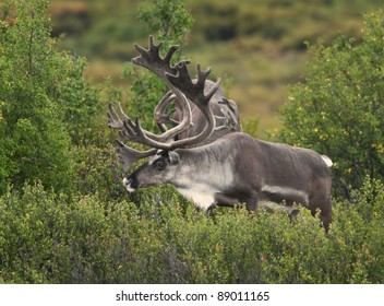 Caribou bulls (Rangifer tarandus), with antlers in velvet, form bachelor bands during spring and summer. DEnali National Park, Alaska.