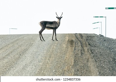 A caribou crosses the Dalton Highway in Alaska, USA
