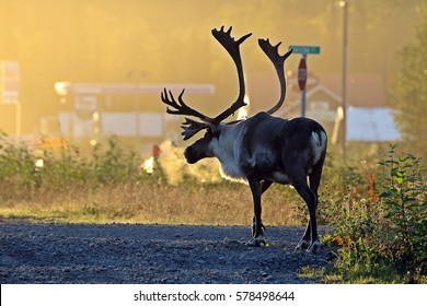 caribou /early morning caribou