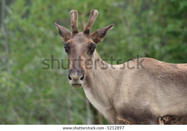 Caribou in early summer in Yukon Territory