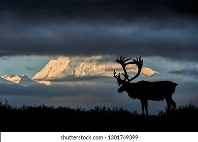 Caribou in front of the Denali