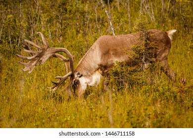 Caribou with huge antlers in pasture in Kenai, Alaska