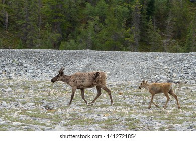 Caribou mother and calf walking through the Tundra