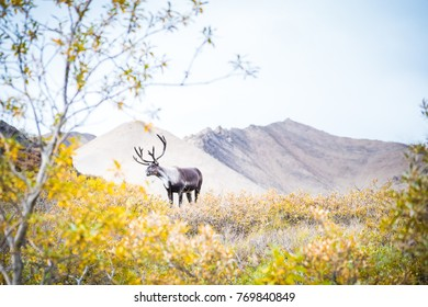 Caribou with Mountain and Trees in Denali National Park