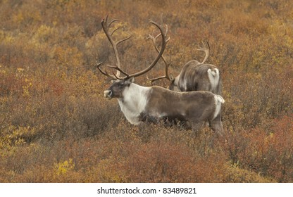 Caribou (Rangifer tarandus) bulls Denali National Park, Alaska. Tundra in fall color.