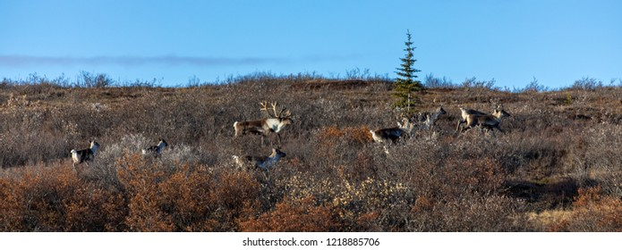 Caribou in the Rut