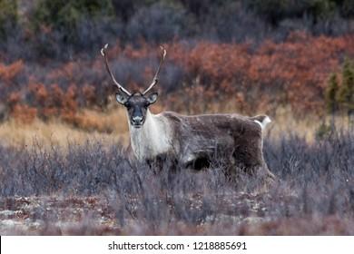 Caribou staring at camera