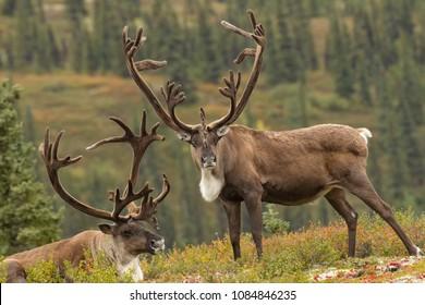 Caribou taken in Denali National Park Agnieszka Bacal.