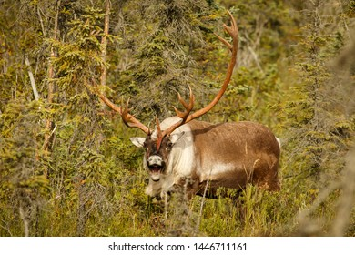 Caribou in town of Kenai in Kenai Peninsula in Alaska