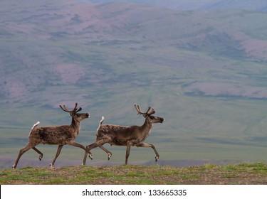 Caribou trotting