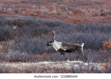 Caribou walking on tundra