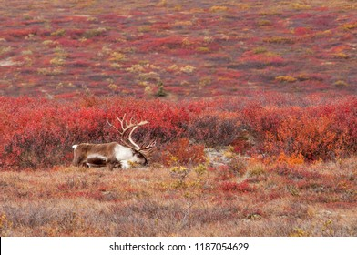 A caribou walks through the tundra surrounded by fall color in Denali, Alaska