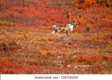 A caribou walks through the tundra surrounded by fall color in Denali, Alask