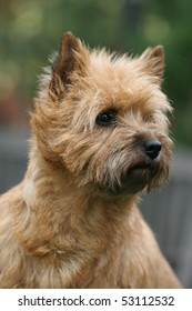 Carin Terrier Headstudy