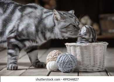 Caring for adult cats of a little kitten sitting in a basket with balls of yarn