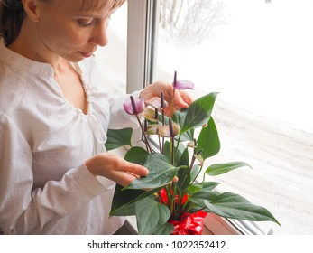 Caring for houseplants in the winter. Cleaning the leaves of anthurium.