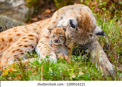 Caring lynx mother and her cute young cub in the grass