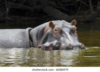 caring for their young hippo