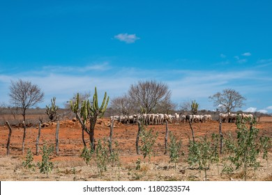 Cariri, Paraíba, Brazil - February, 2018: Landscape of nature background with cows and oxen feeding, eating in a dry land with Mandacaru Cactus in Caatinga Biome at Northeast of Brazil