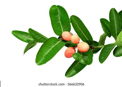 Carissa carandas is a species of flowering shrub in the dogbane family, Apocynaceae. It produces berry-sized fruits[1] that are commonly used as a condiment in Indian pickles and spices.