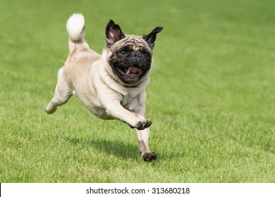 Carlin dog is running on a green meadow