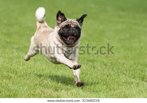 Le chien de Carlin court sur un pré vert