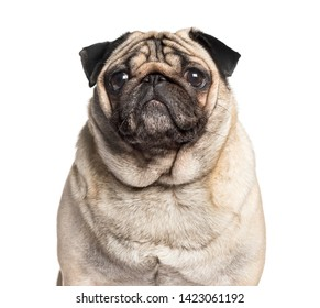 Carlin looking at camera against white background, pug