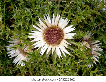 Carlina acaulis is a perennial dicotyledonous flowering plant in the family Asteraceae, native to alpine regions of central and southern Europe