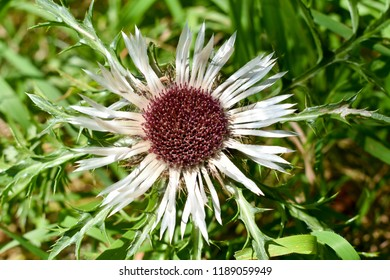 Carlina acaulis, the stemless carline thistle, dwarf carline thistle, or silver thistle, is a perennial dicotyledonous flowering plant in the family Asteraceae.