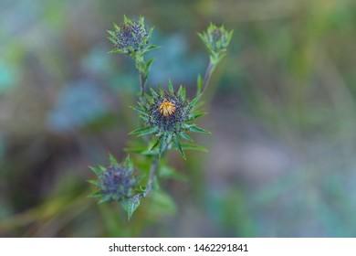 Carlina biebersteinii plant at field at nature. Carlina vulgaris or Carline thistle, family Asteraceae (Compositae). Carlina corymbosa