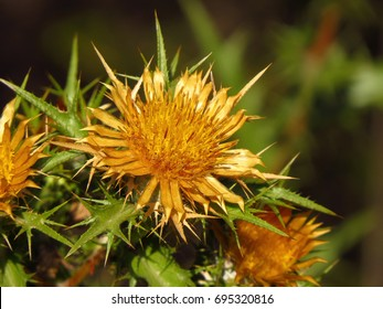 Carlina corymbosa, Clustered Carline Thistle