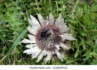 Carline Thistle in the austrian alps