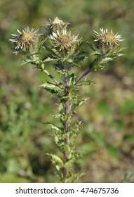 Carline Thistle - Carlina vulgarisCommon Calcareous Grassland Flower