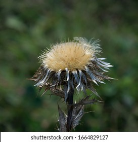 Carline Thistle flower head with spiky foliage.