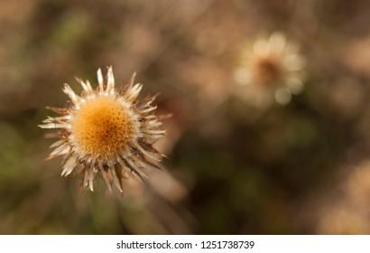 carline thistle(Carlina vulgaris)