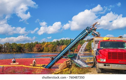 Carlisle, MA, USA – October 17, 2014: Workers gather bright red cranberries in flooded bog during annual fall cranberry harvest.