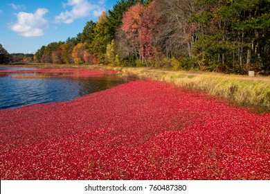 Carlisle, MA, USA – October 17, 2014:  bright red cranberries in flooded bog during annual fall cranberry harvest.