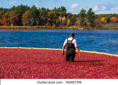 Carlisle, MA, USA – October 17, 2014: Worker gathers bright red cranberries in flooded bog during annual fall cranberry harvest.