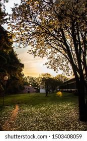 São Carlos, SP, Brazil - September 11,2019: Beautiful White Ipe (Tabebuia roseo-alba)  at sunset, ornaments the campus of the Federal University of São Carlos (UFSCAR).