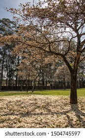 São Carlos, SP, Brazil - September 11,2019: White Ipe lost its flowers and covered the ground with their beauty (Tabebuia roseo-alba). At Federal University of Sao Carlos (UFSCAR)