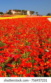 Carlsbad, CA, USA March 28, 2007 A row of flowers in the famed Carlsbad, Califonia flower fields, stretches as far as the eye can see on a warm spring day
