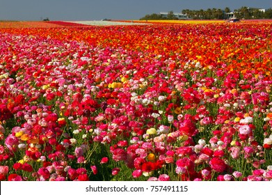 Carlsbad, CA, USA March 28, 2007 Flowers as far as the eye can see.  The fields of Carlsbad, California are dotted with acres of pink, red and yellow blooms