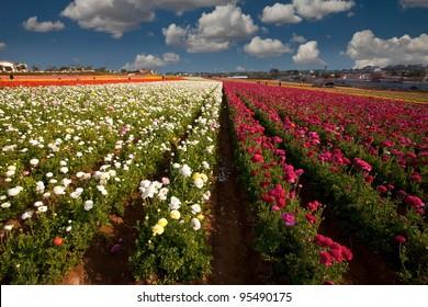 Carlsbad California Flower Fields