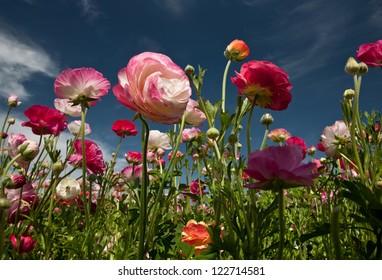 CARLSBAD FLOWER FIELDS 13