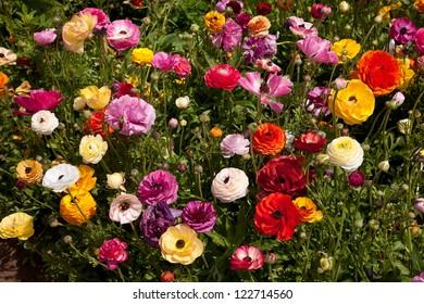 CARLSBAD FLOWER FIELDS 14